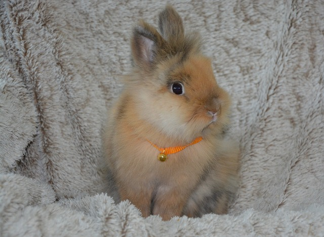 trpasličí králíček